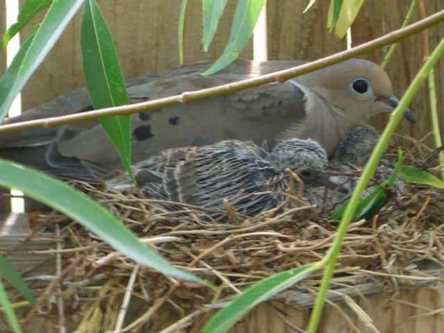 Mourning Dove Nesting 20060630