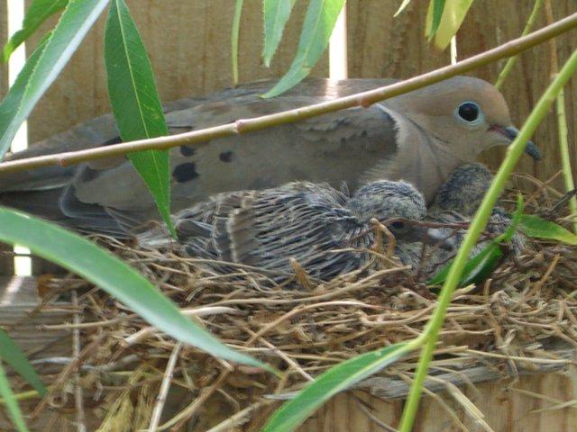 Mourning Dove Nest File:Mourning Dove Nes...