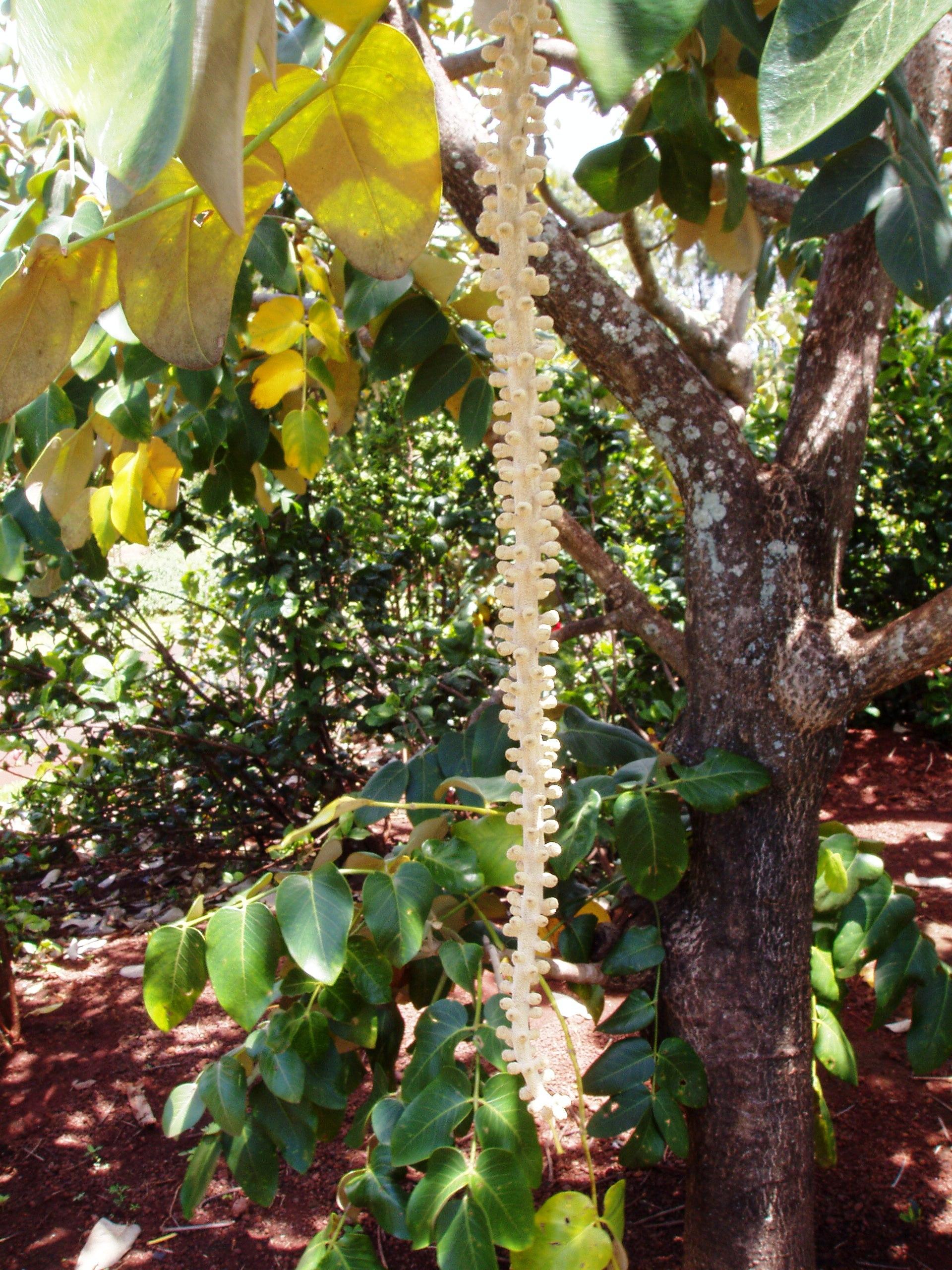 File:Munroidendron Racemosum (National Tropical Botanical Garden, Kauai,  Hawaii).JPG