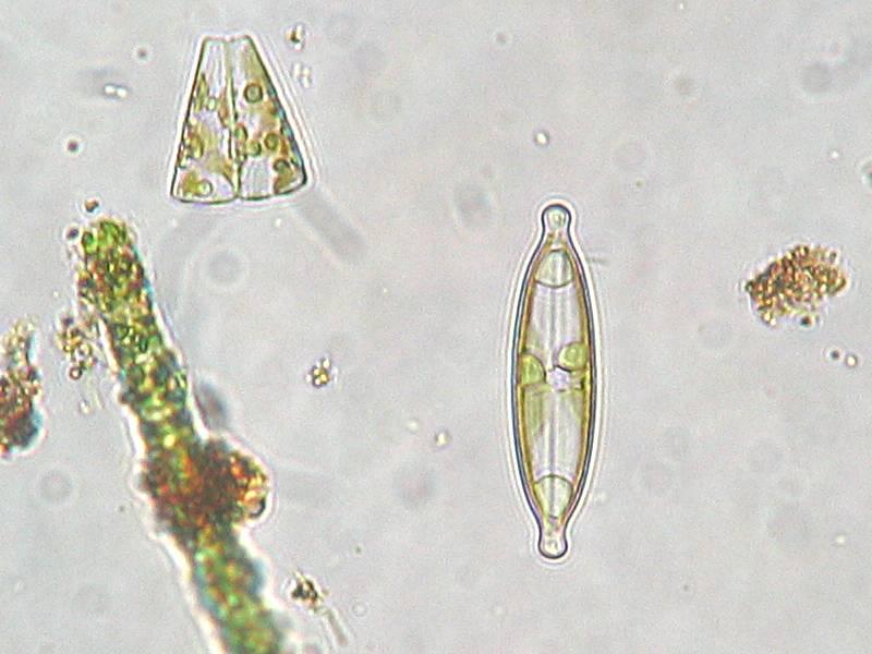 Ganggang Pirang / Keemasan / Chrysophyta