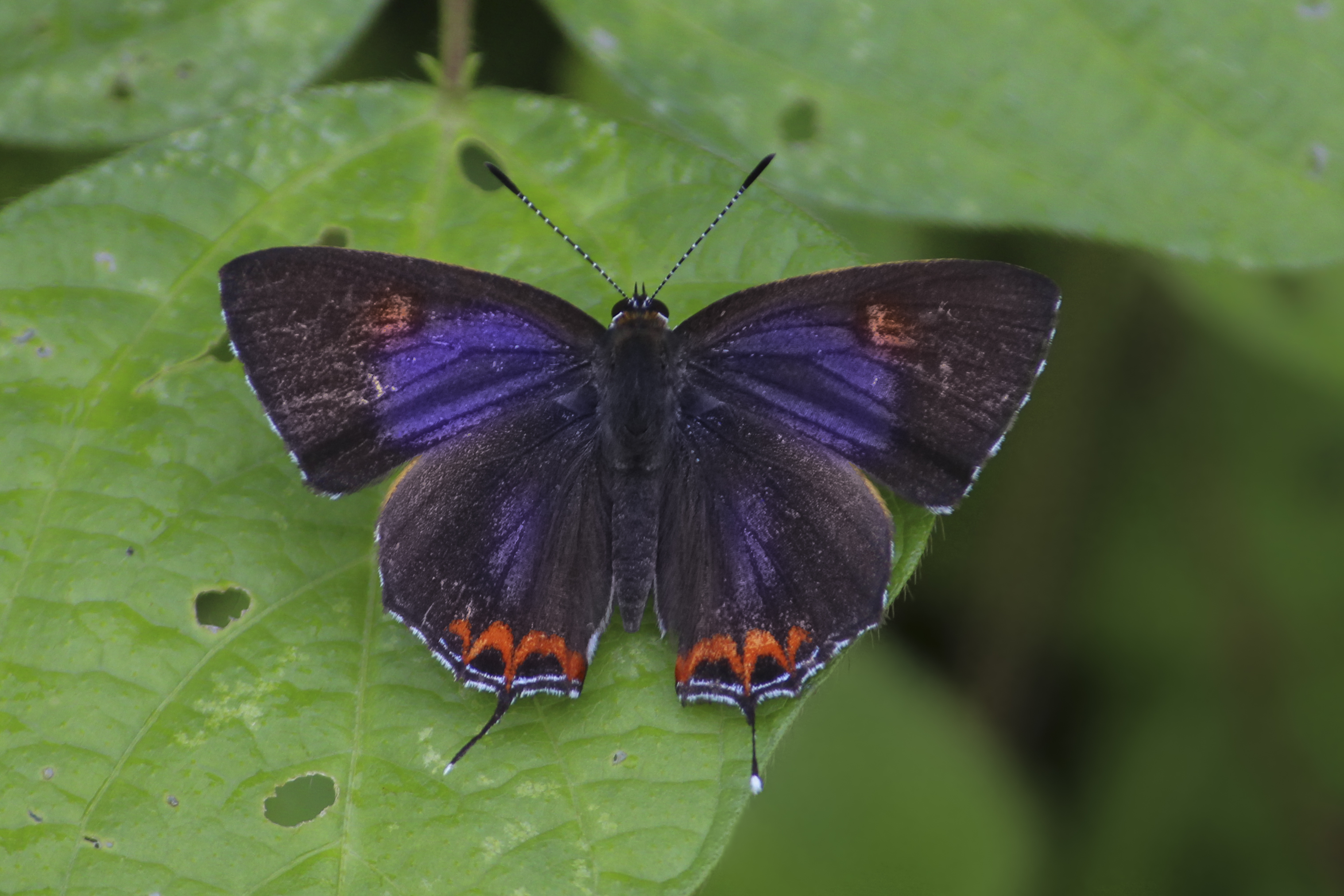 lycaeninae sahana sorrel butterfly br heliophorus sapphire m butterflies blues kollar photogallery home lycaenidae index sena subfamily the