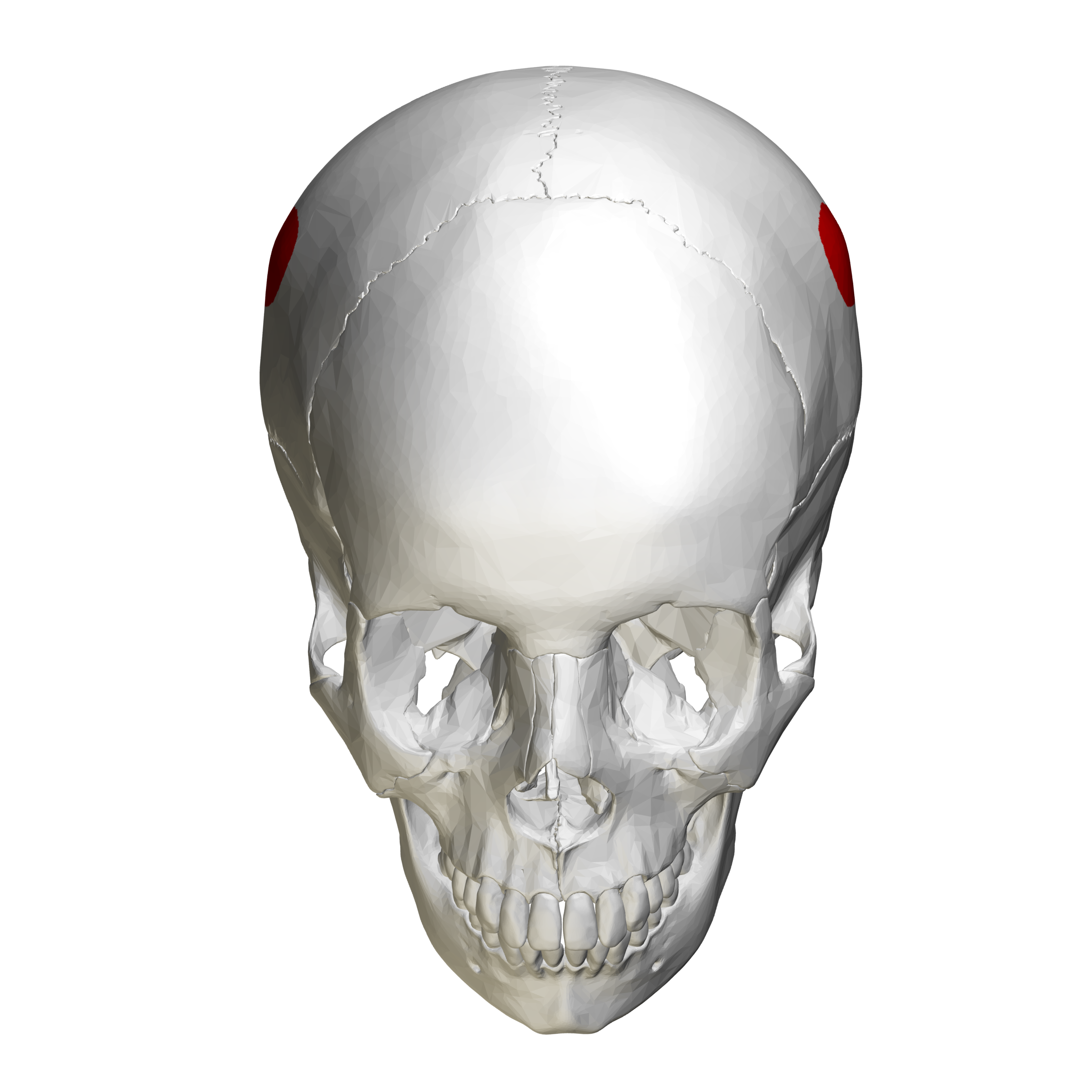 Fileparietal Eminence Skull Anterior View00g Wikimedia Commons