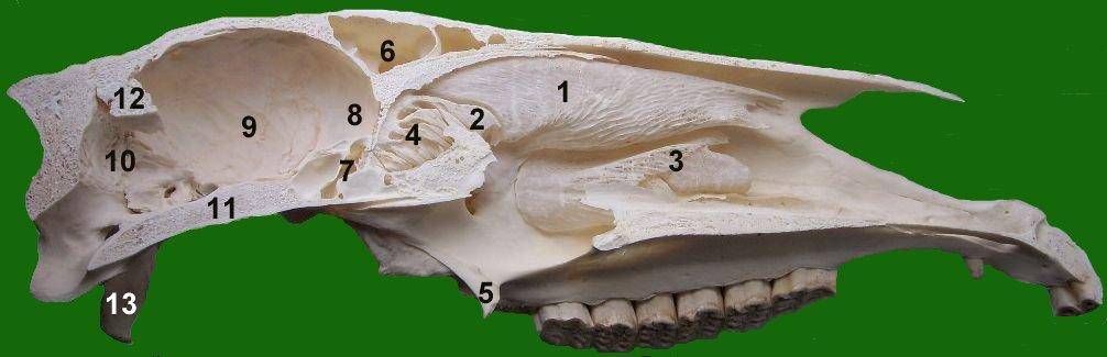 Nasenhöhle – Wikipedia