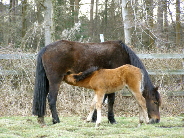 Pony and foal, Ashurst, New Forest - geograph.org.uk - 148308