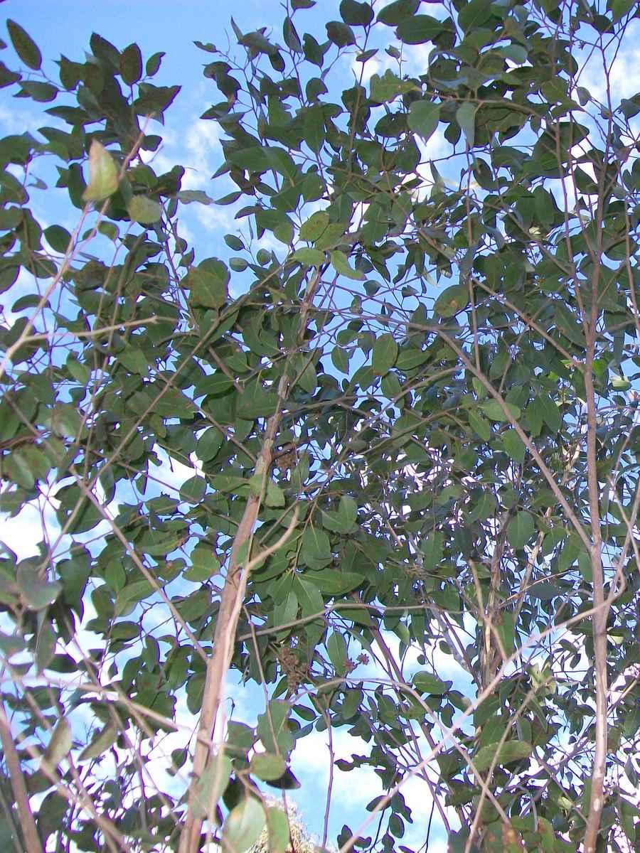 Eucalyptus Ligustrina Wikipedia