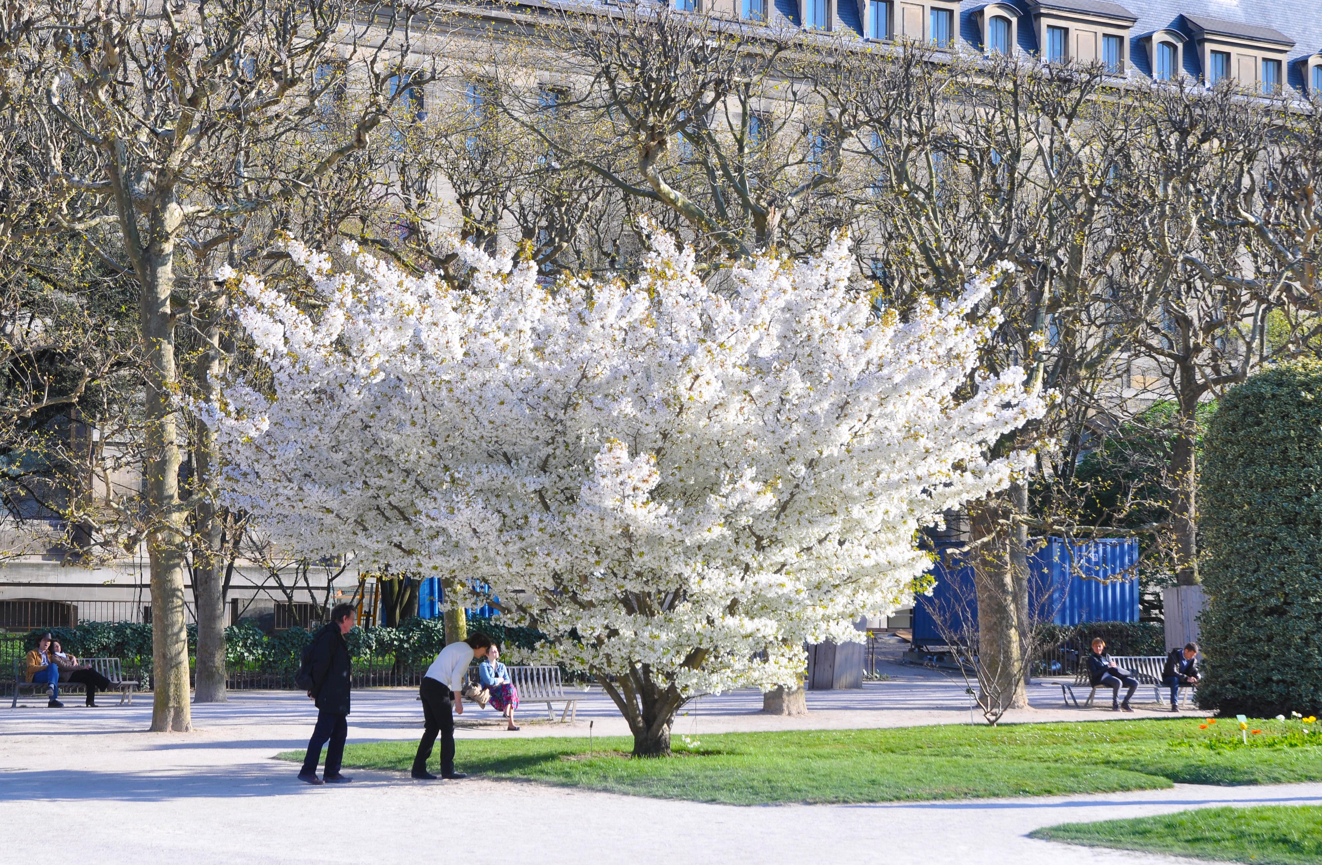 File prunus speciosa in the jardin des plantes for Jardin 5e paris