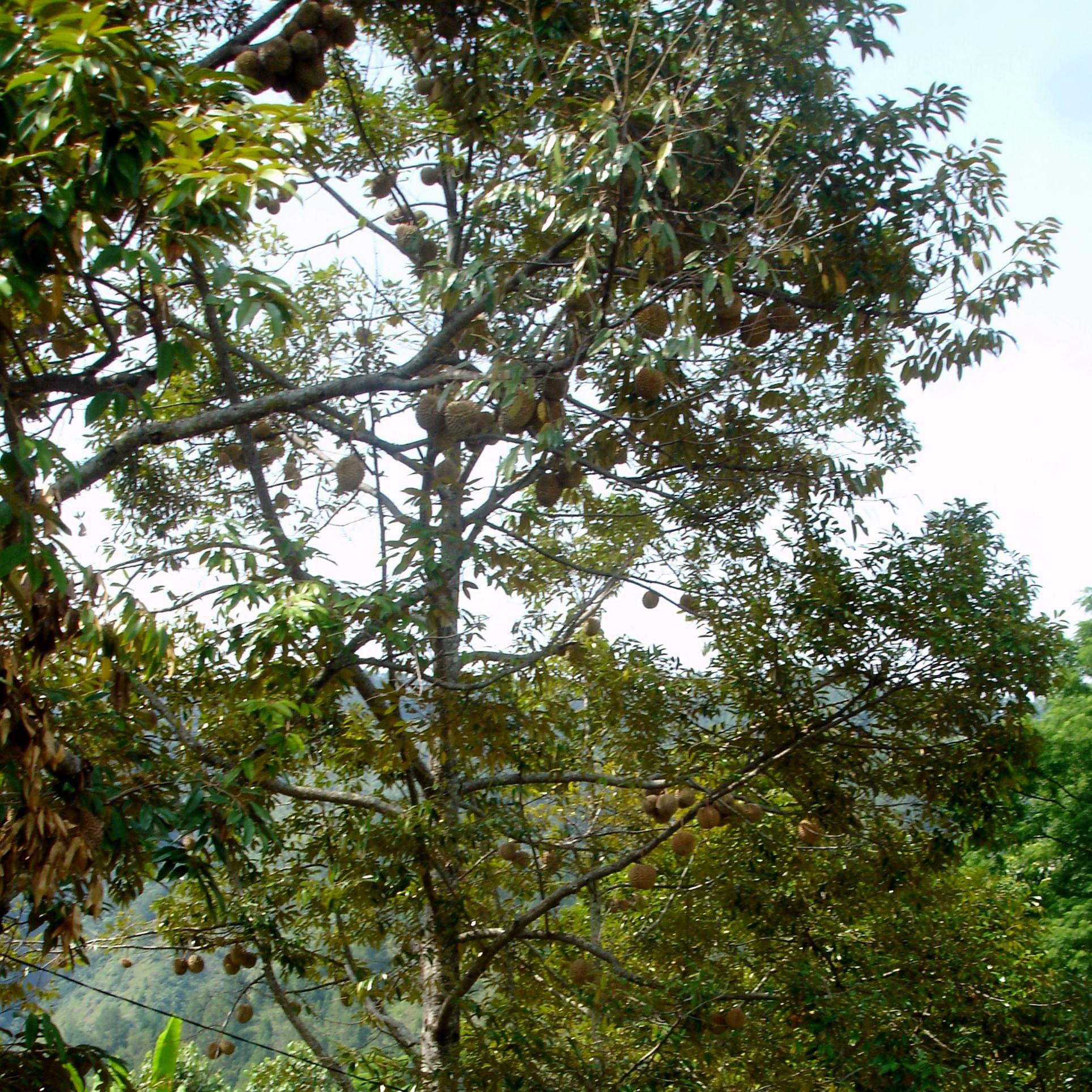 File:Ripe Durian Tree in Samosir Island 06 JPG - Wikimedia