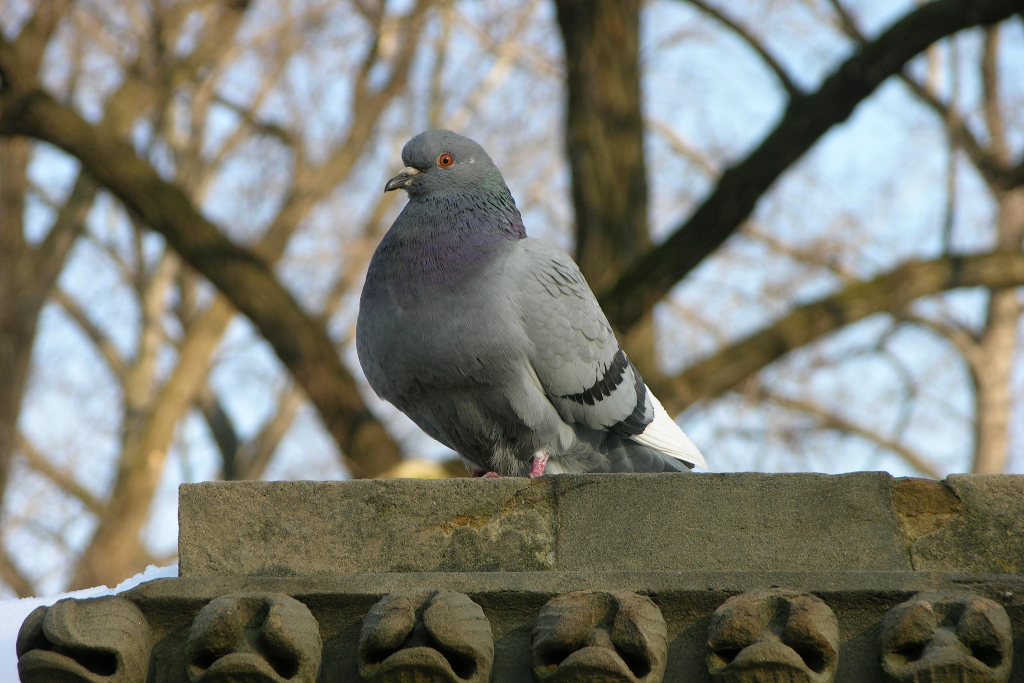 Rock_Pigeon_Columba_livia_3264px.jpg