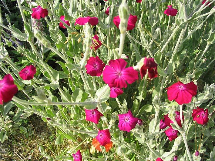 Coquelourde des jardins wikip dia - Coquelourde des jardins lychnis coronaria ...