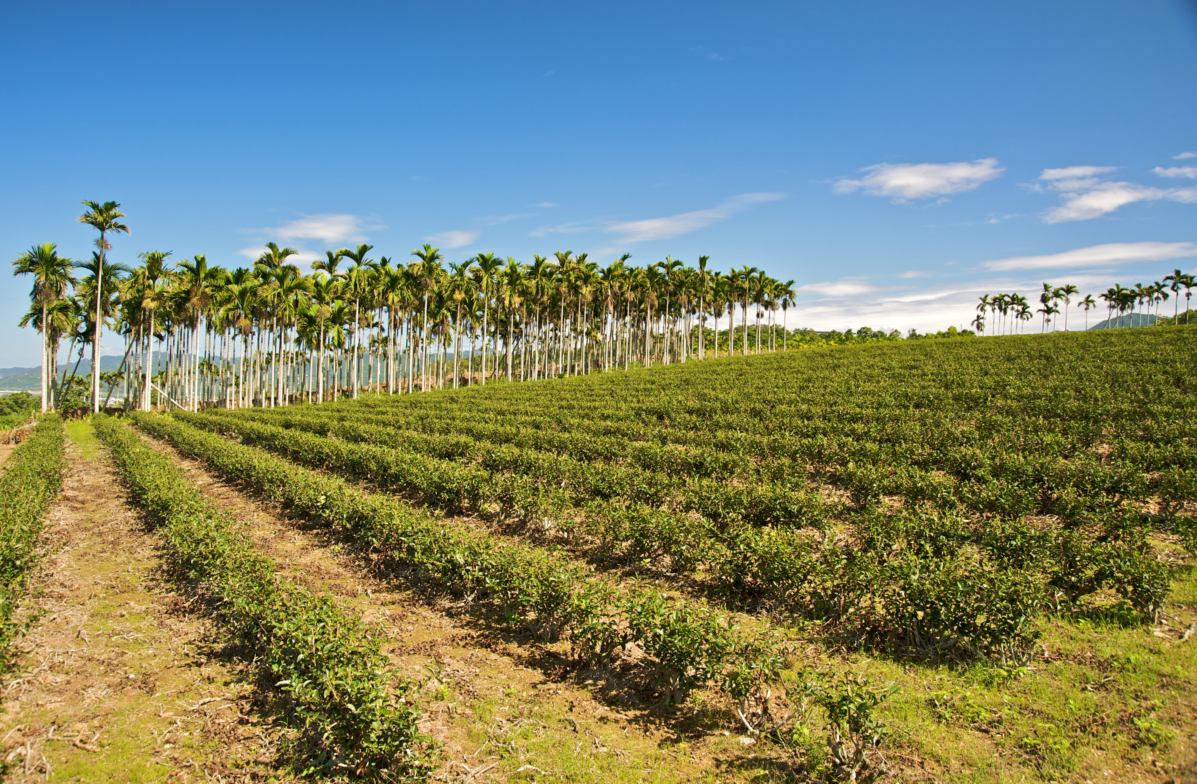 tea industry Last year sri lanka celebrated the 150th anniversary of its tea industry will the  tea industry survive another 150 years the prospects for the.