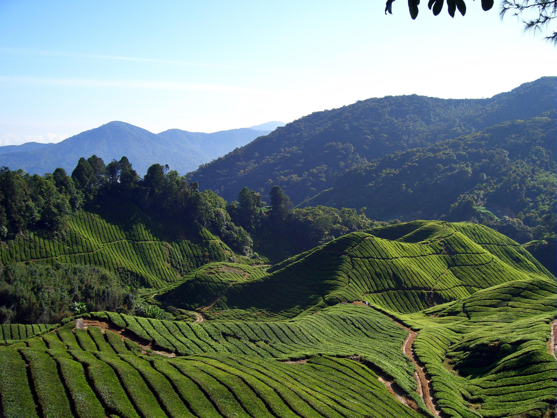 Description Tea fields (Will Ellis).jpg