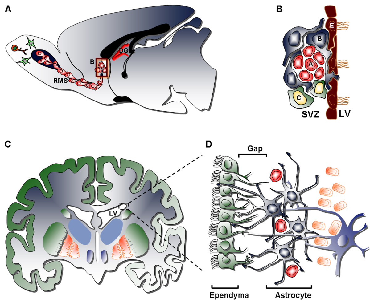 Filethe Anatomy Of The Neurogenic Subventricular Zone In The Adult