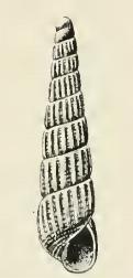 <i>Turbonilla lara</i> species of mollusc