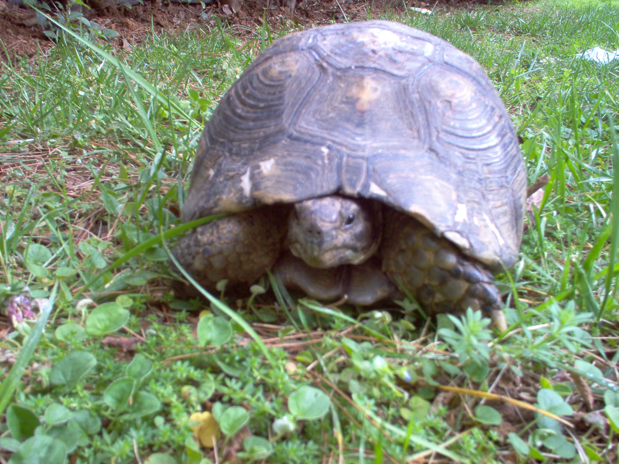 snapping turtle attack