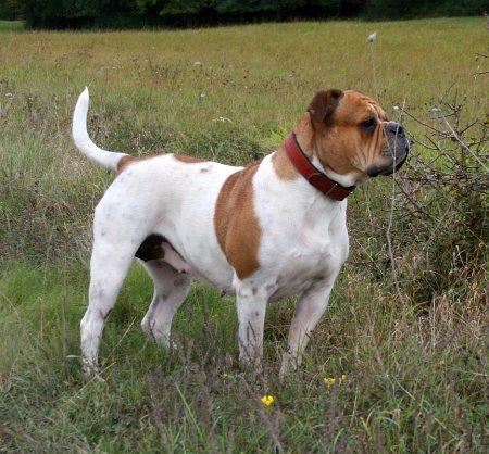 Olde English Bulldogge - Wikipedia, the free encyclopedia