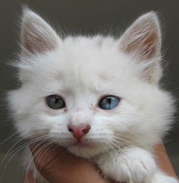 Ficheiro:White-Cat.JPG