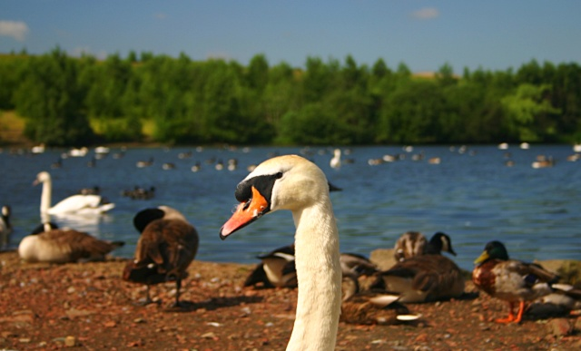 Wildfowl at Fairburn Ings - geograph.org.uk - 20677