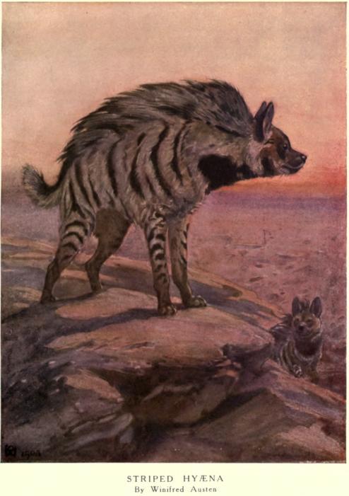 Winifred austen hyena.jpg