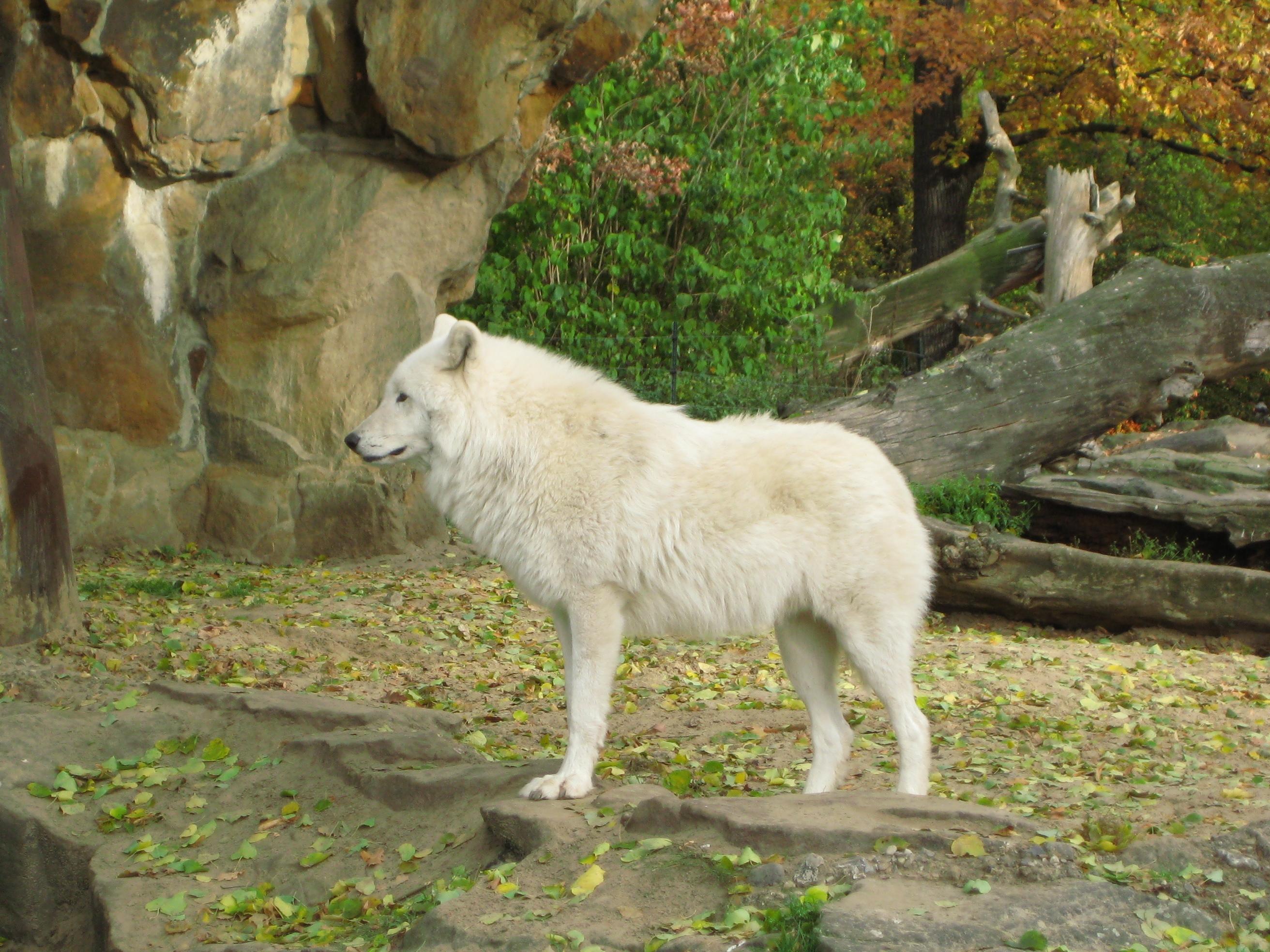 http://upload.wikimedia.org/wikipedia/commons/0/06/Wolf_Zoo_Berlin.jpg