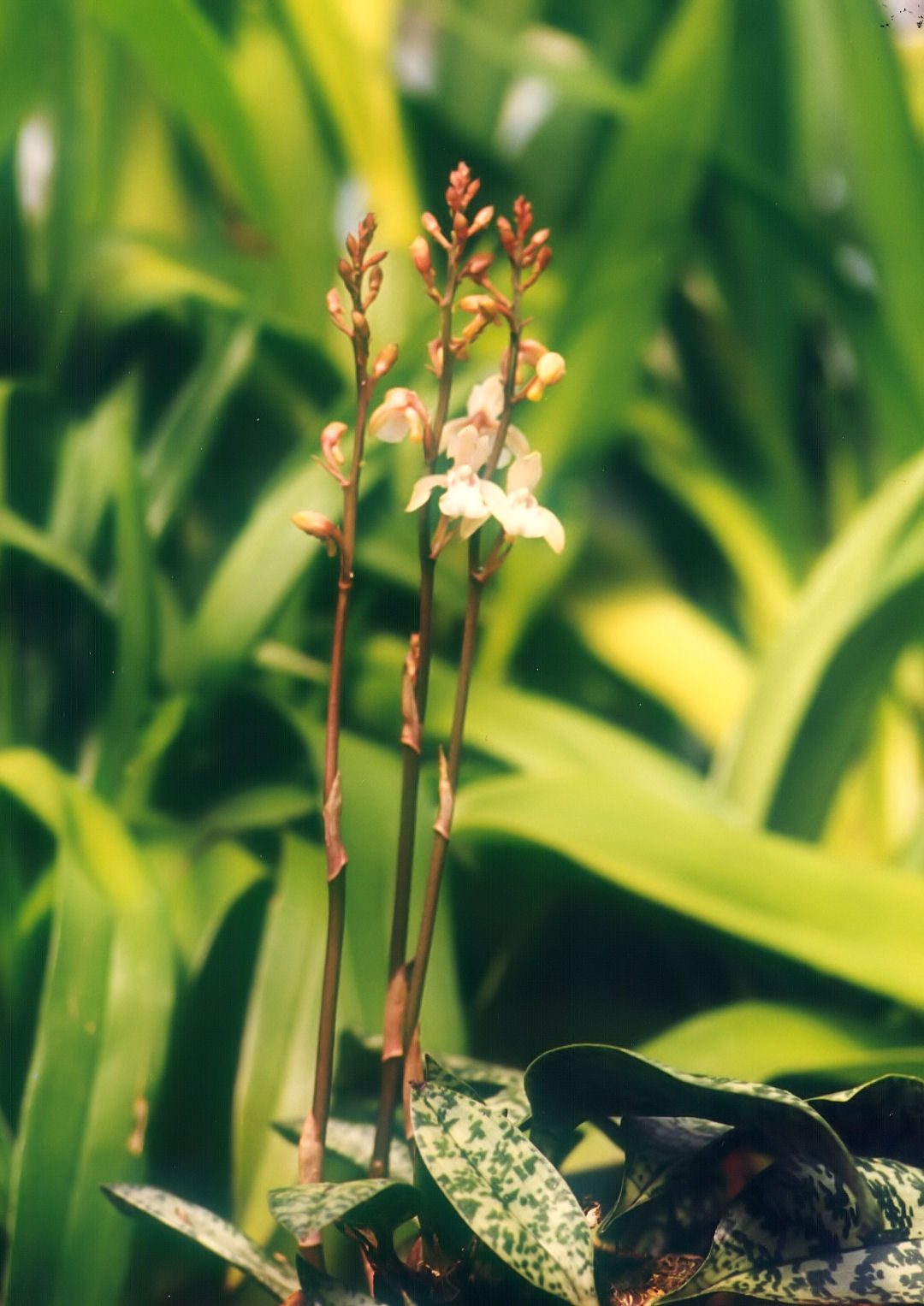http://upload.wikimedia.org/wikipedia/commons/0/07/A_and_B_Larsen_orchids_-_Oeceoclades_maculata_451-3.jpg