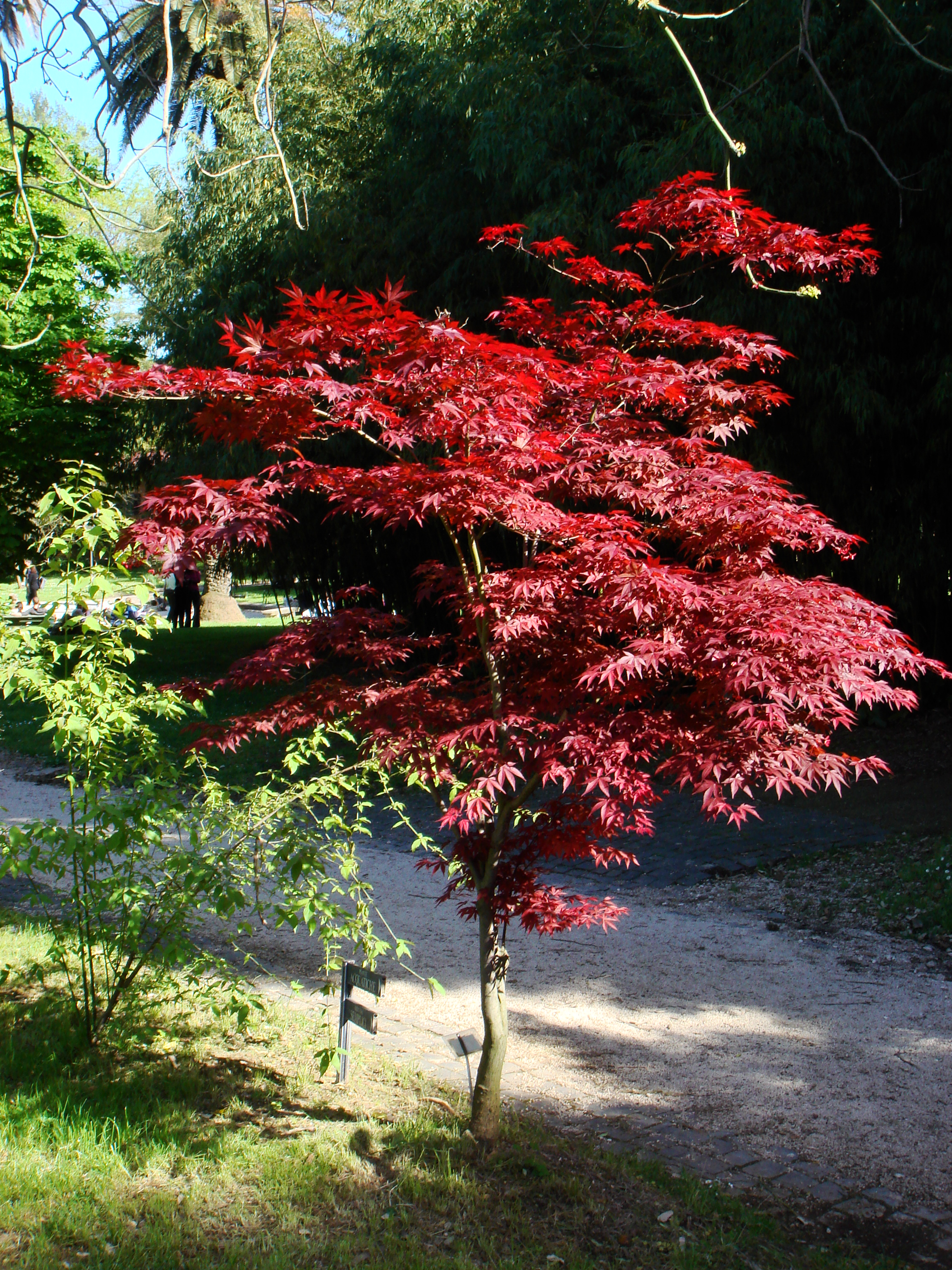 acer palmatum the graceful gardener my love affair with japanese maples wakefieldplantidhrt1. Black Bedroom Furniture Sets. Home Design Ideas