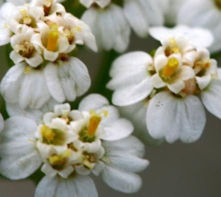 I fiori esterni dell'infiorescenza sono composti da 5 fiori tridentati (a tre lobi) femminili mentre i fiori centrali dell'infiorescenza sono formati da 5 petali bianco-giallognoli ermafroditi.