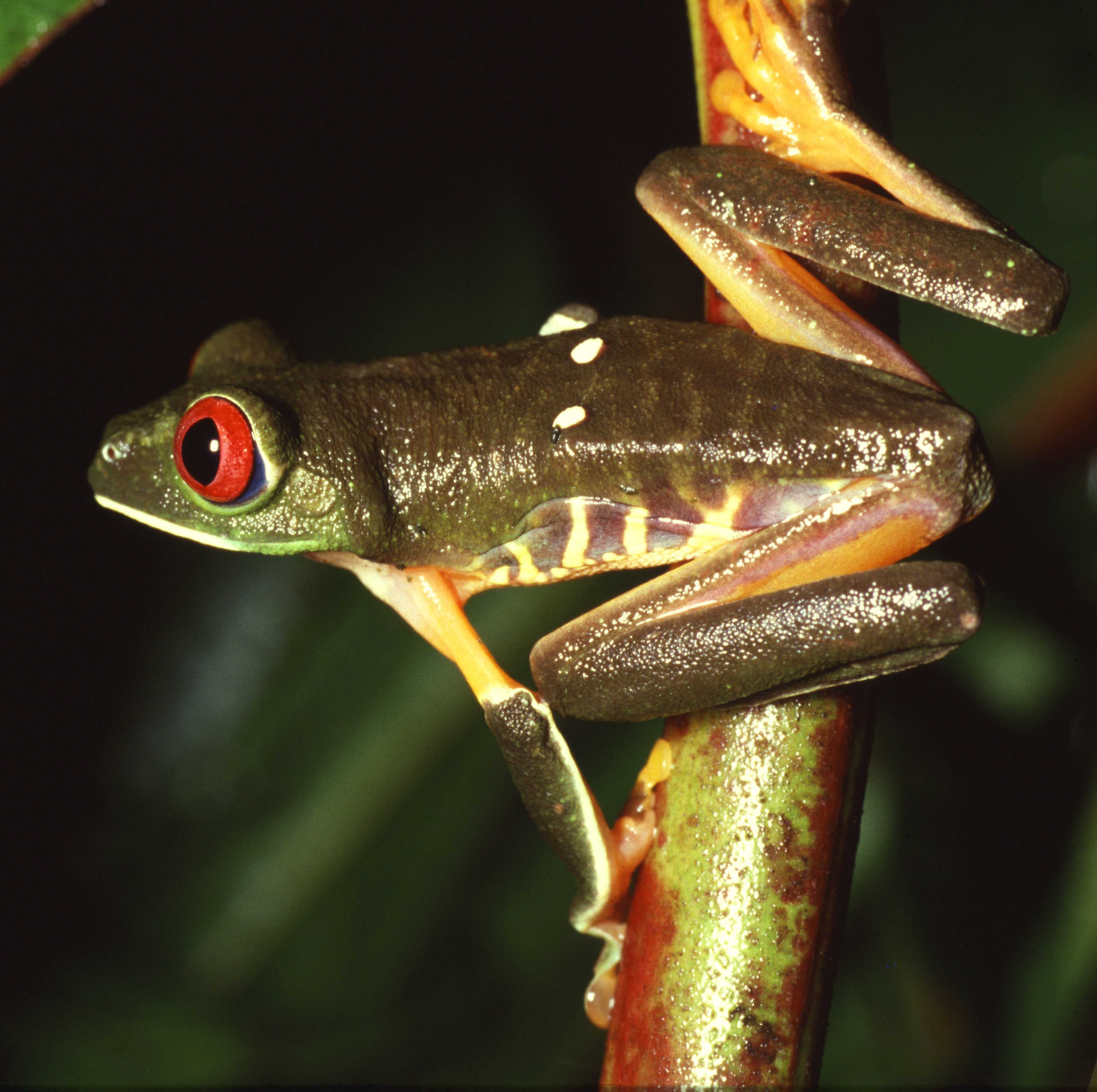 Beautiful Tree Nymphs: Dazzling Red-Eyed Tree Frogs (16 PICS)