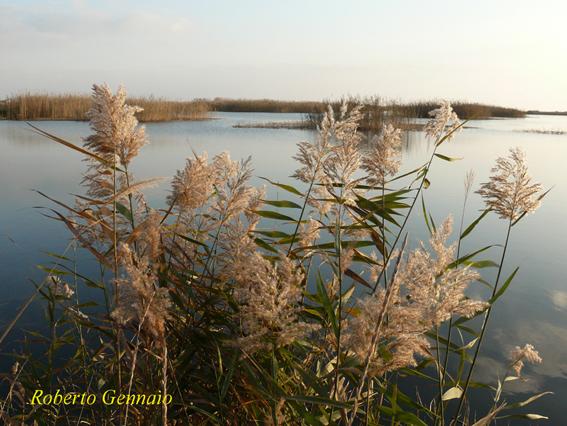 File ambienti lacustri bacino rottacapozza sud ugento for Plante lacustre