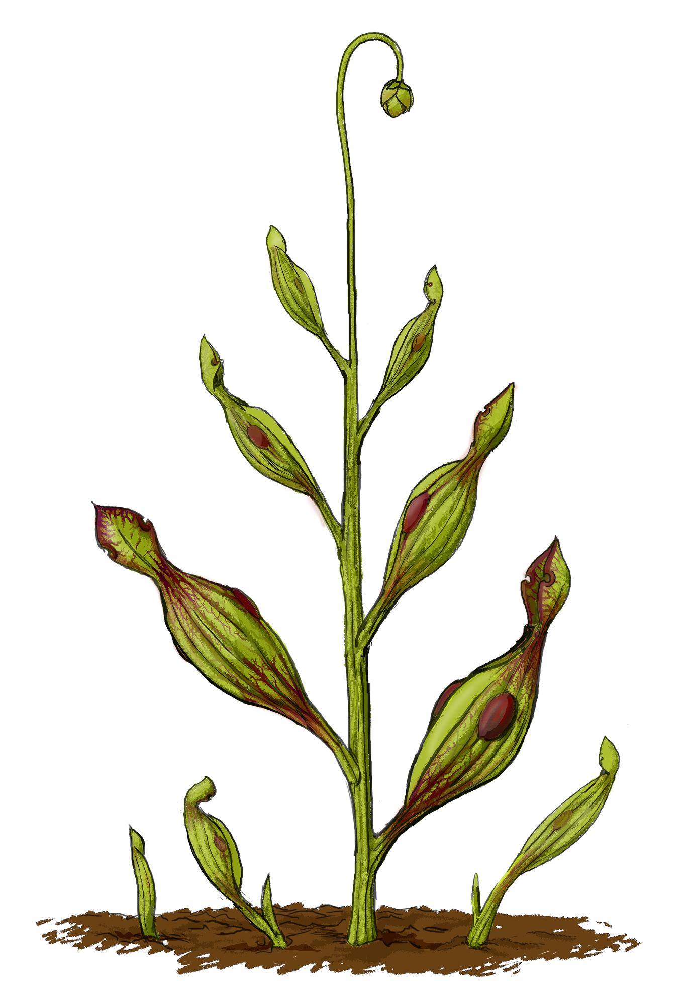 Achaeamphora longicervia