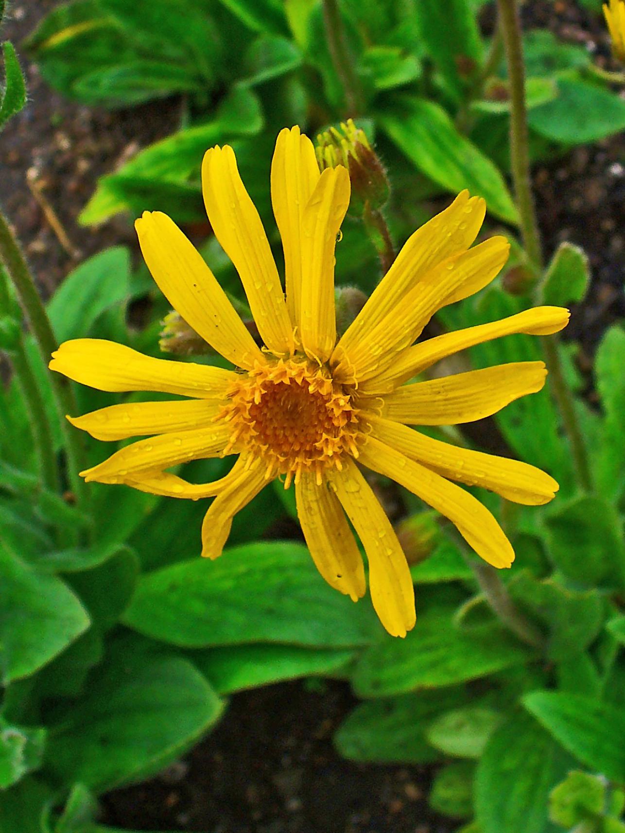 Garden File Arnica Montana 002 Jpg Wikimedia Commons
