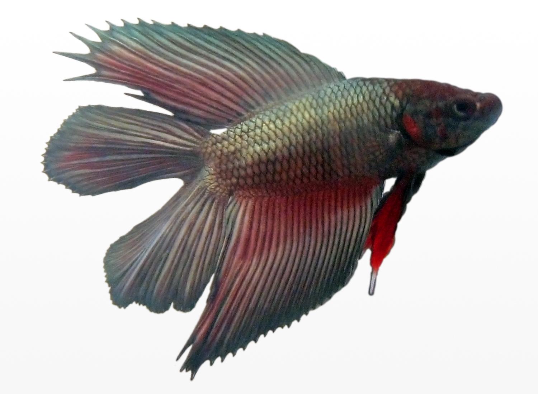 Male Betta Fish Tattoo Designs