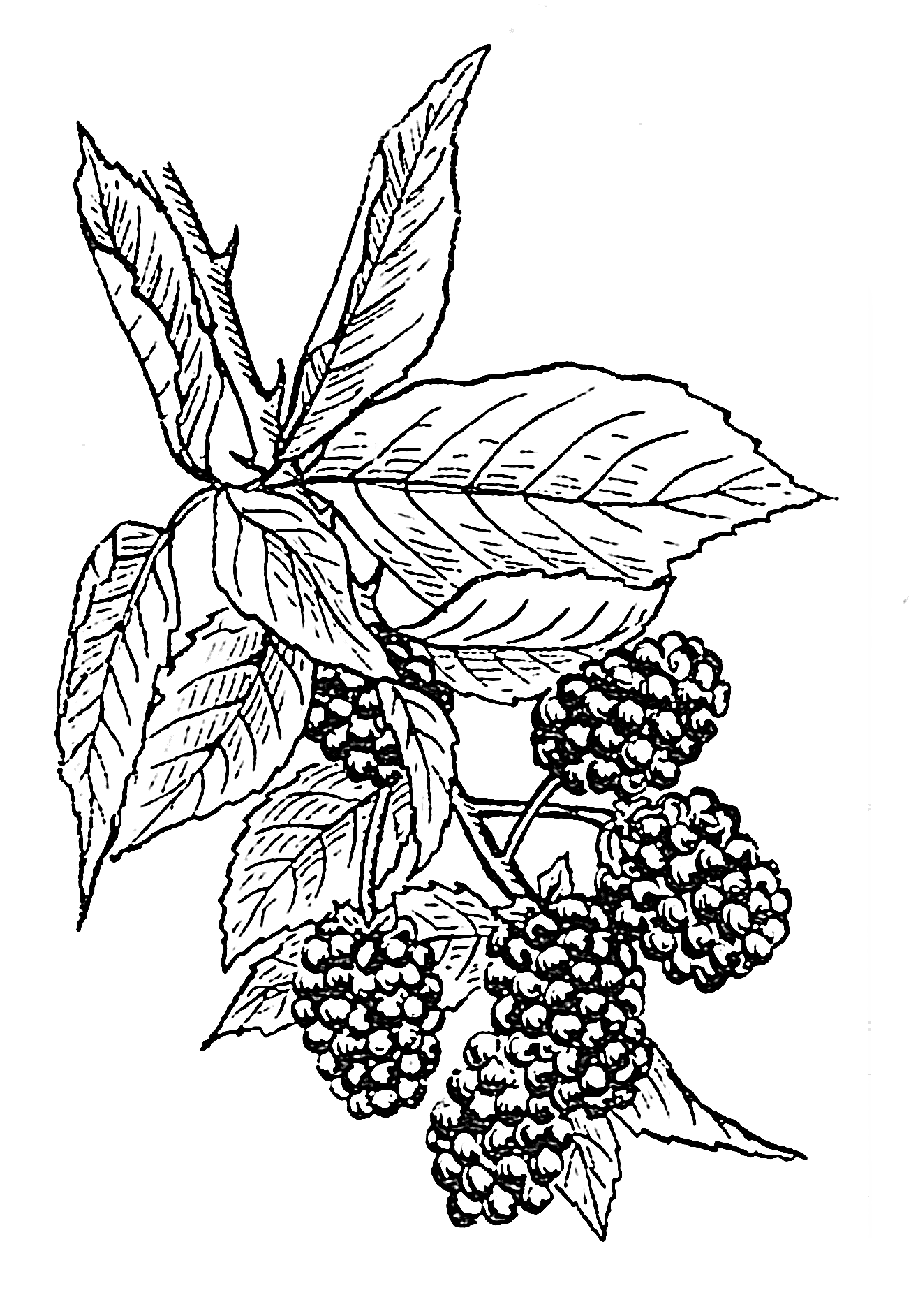 Image Result For Blueberry Bush Coloring