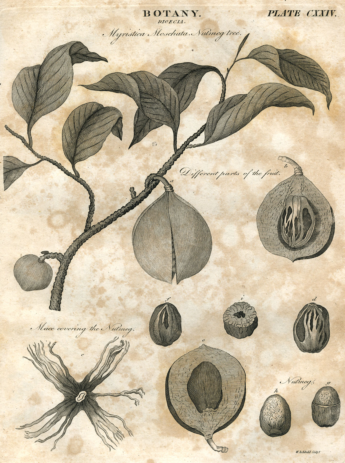 File:Botany plate 124 britannica 5th edition 1817 engraved by William Miller for William ...