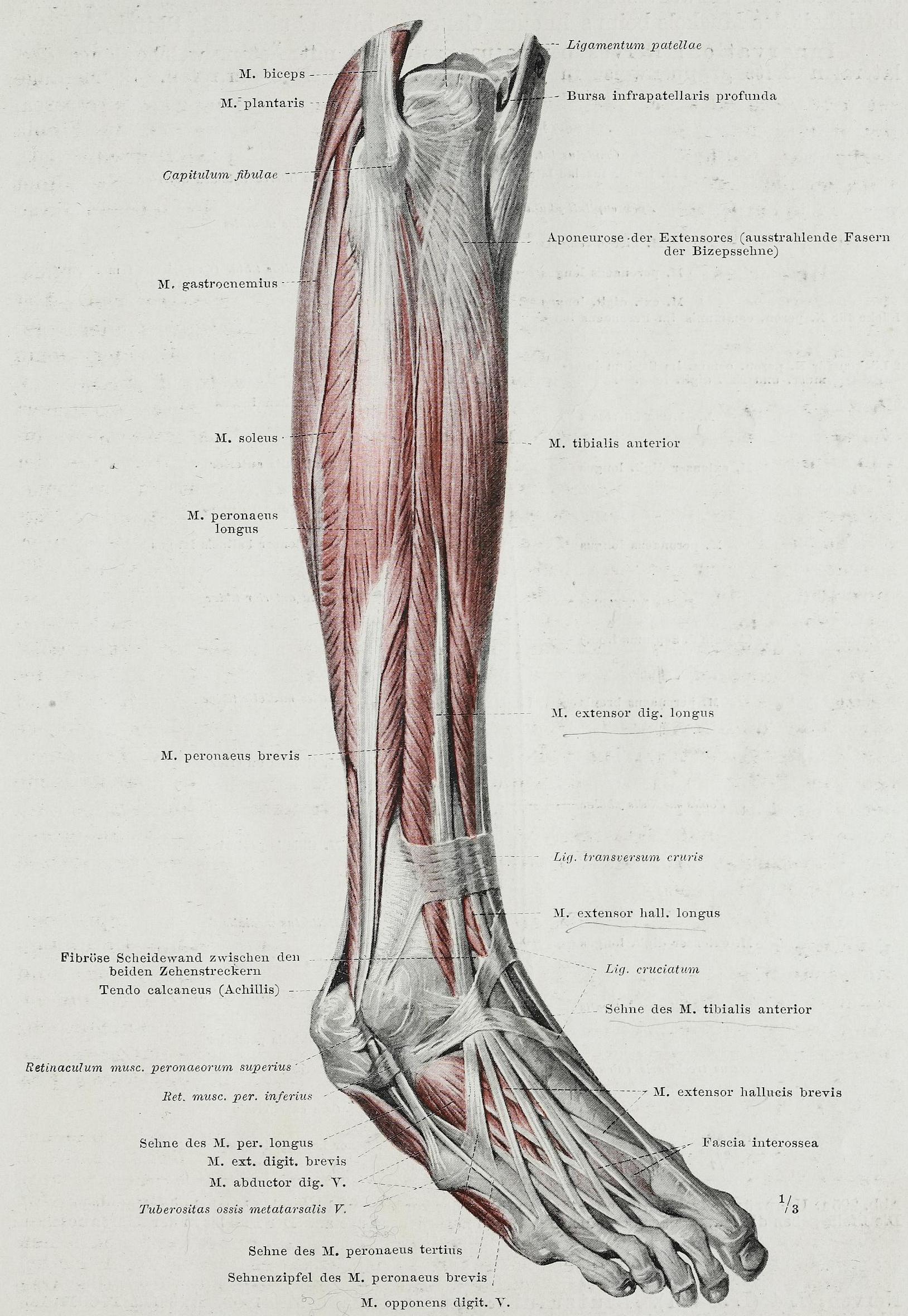 Tolle Anatomie Fußmuskulatur Bilder - Menschliche Anatomie Bilder ...