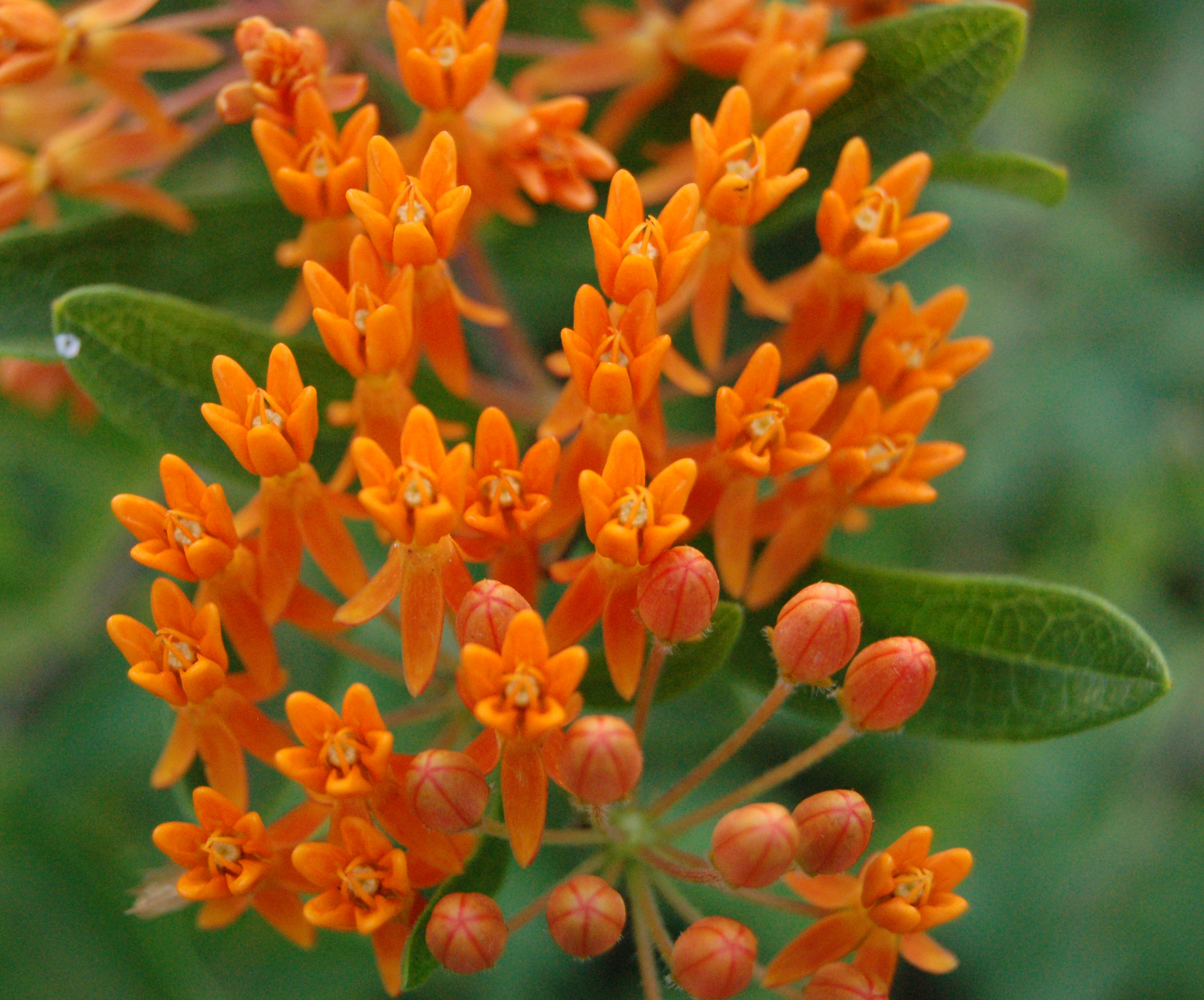 File Butterfly Weed Flower and Bud Closeup 2408px Wikimedia mons