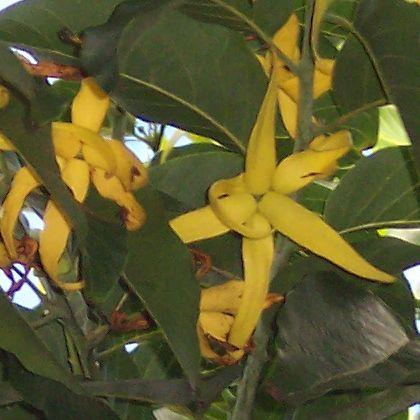 Cananga_odorata_flowers-cropped.jpg
