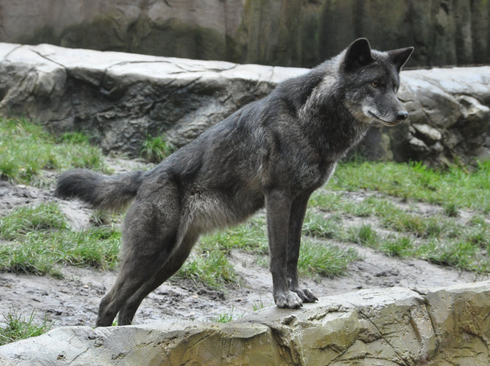 Image Result For Werewolf Dog Can