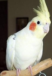 meaning of cockatiel