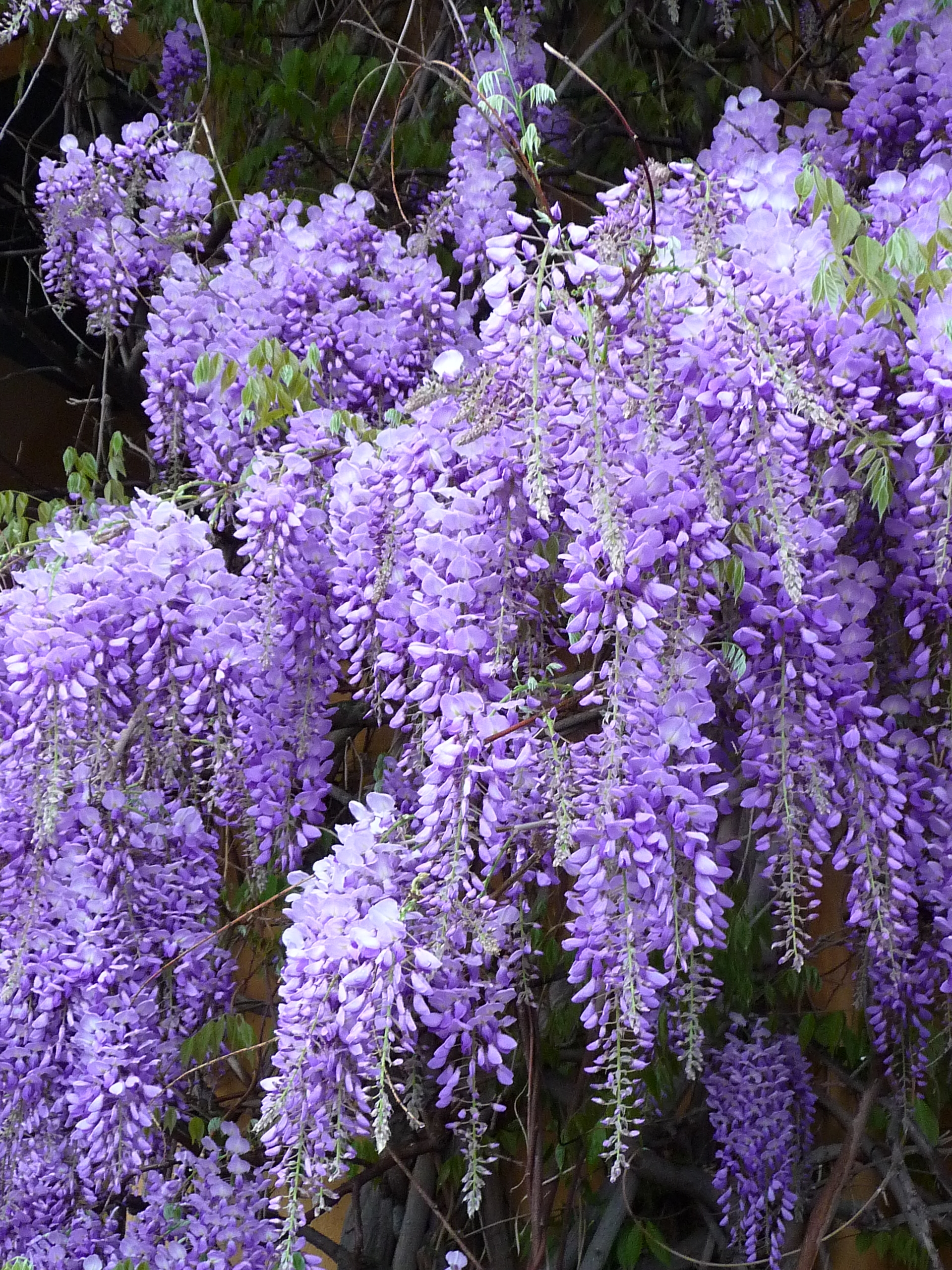 File Chinese Wisteria Blütentrauben JPG the free encyclopedia