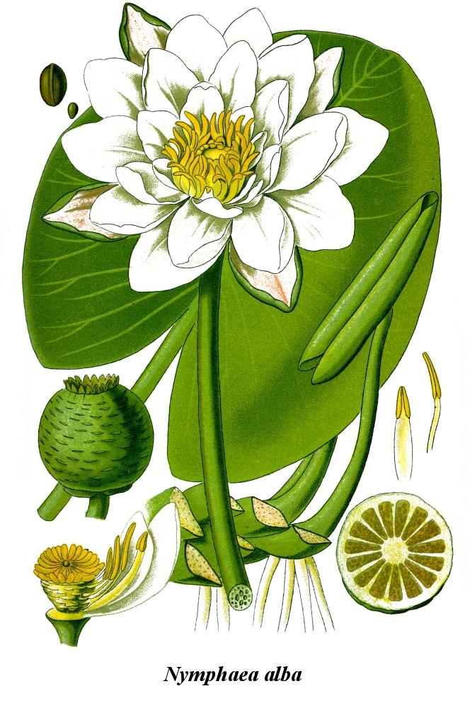 Cleaned-Illustration Nymphaea alba.jpg