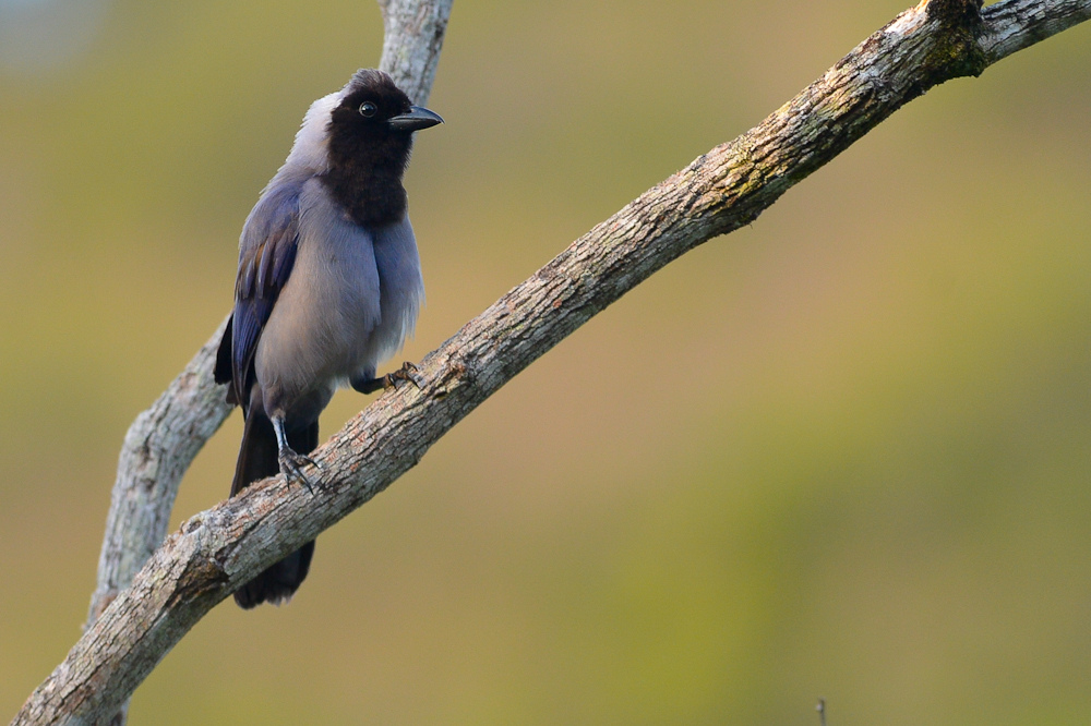 Violaceous Jay Wikipedia