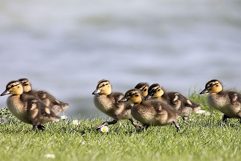 Ducklings - Grafham Water - reflected