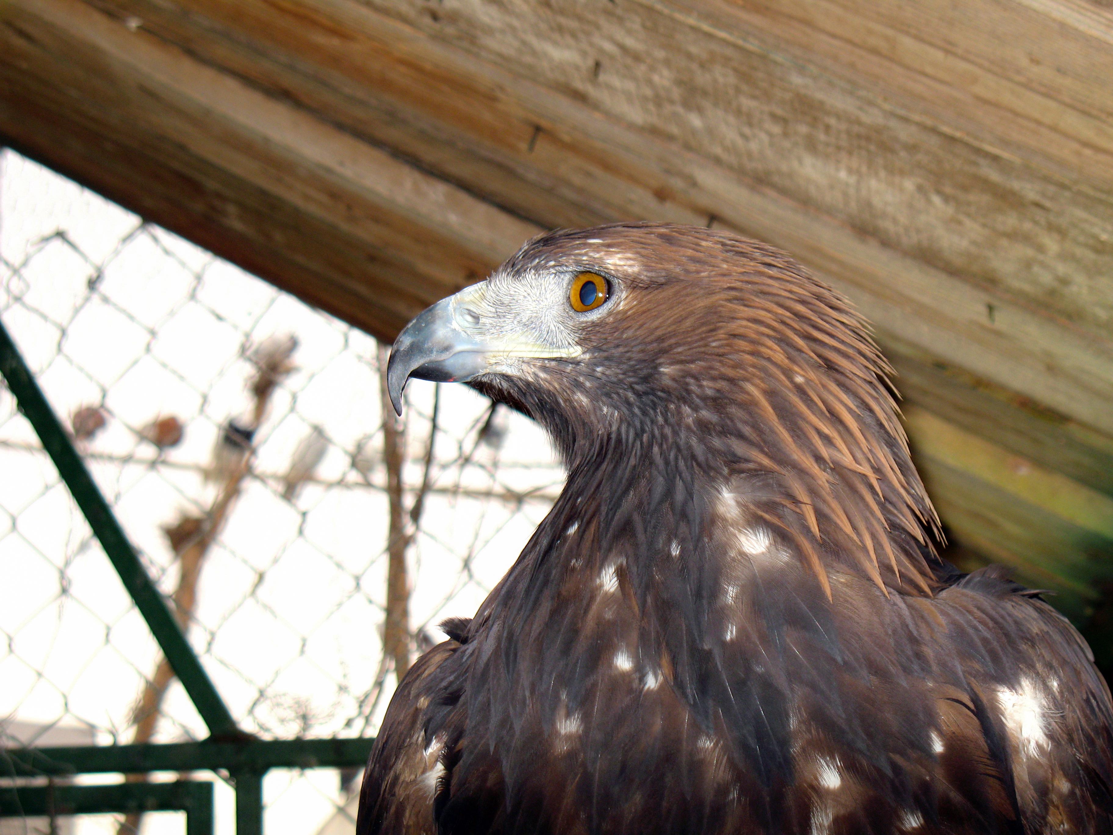 File:Eagle عقاب 12.jpg - Wikimedia Commons