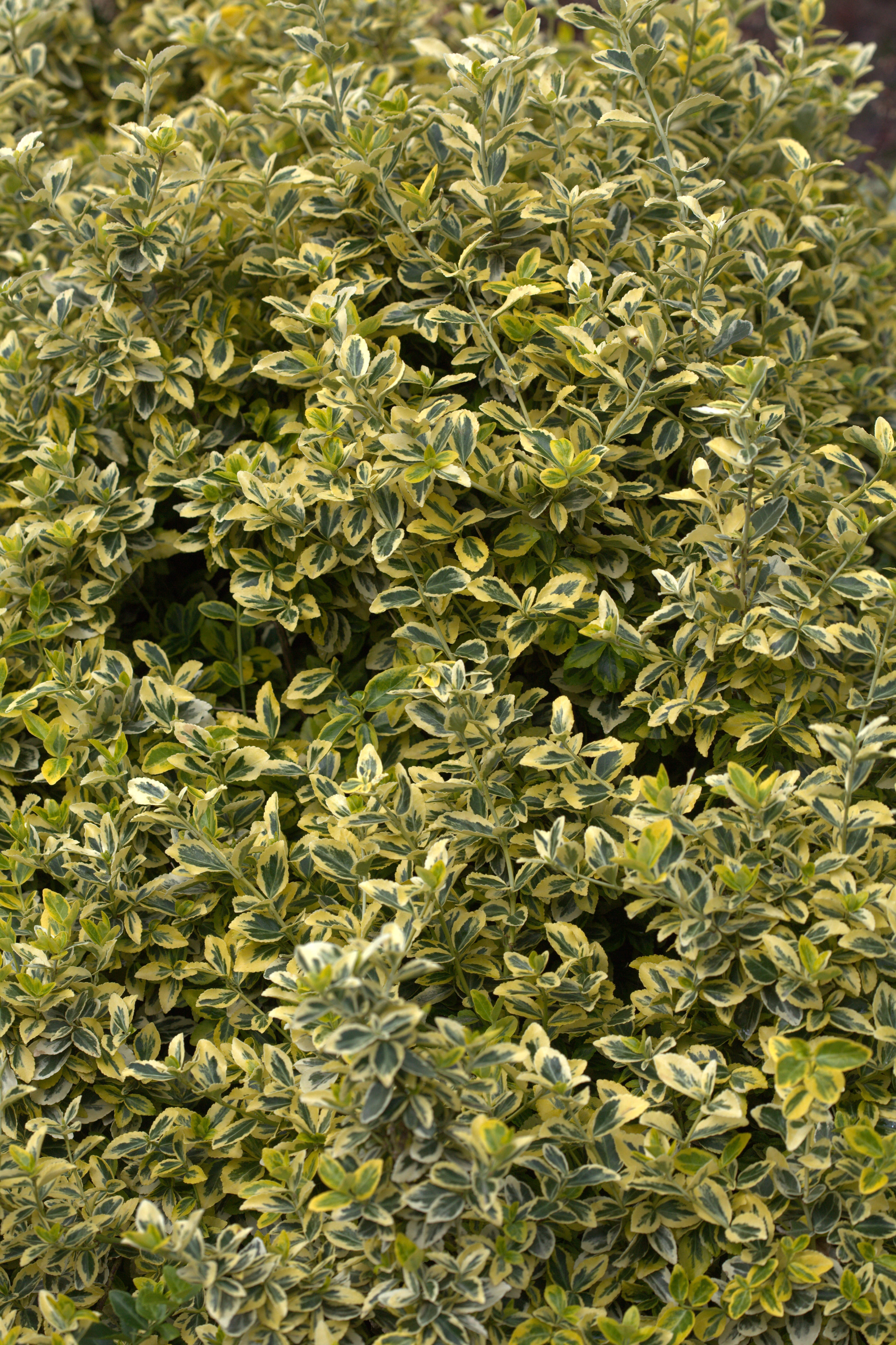 file euonymus fortunei var radicans 39 emerald 39 n gold 39. Black Bedroom Furniture Sets. Home Design Ideas