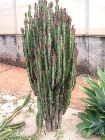 Euphorbia trigona wikipedia - Kaktus zimmerpflanze ...