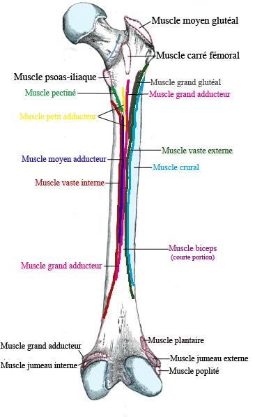 File:Fémur insertions musculaires face postérieure.png - Wikimedia ...
