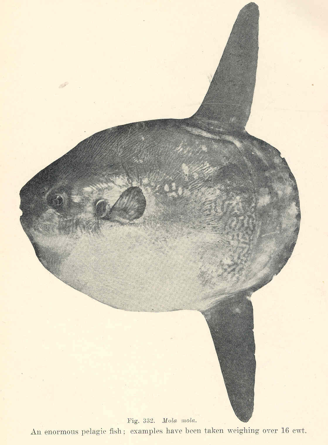 File fmib 45808 mola mola an enormous pelagic fish for Examples of fish