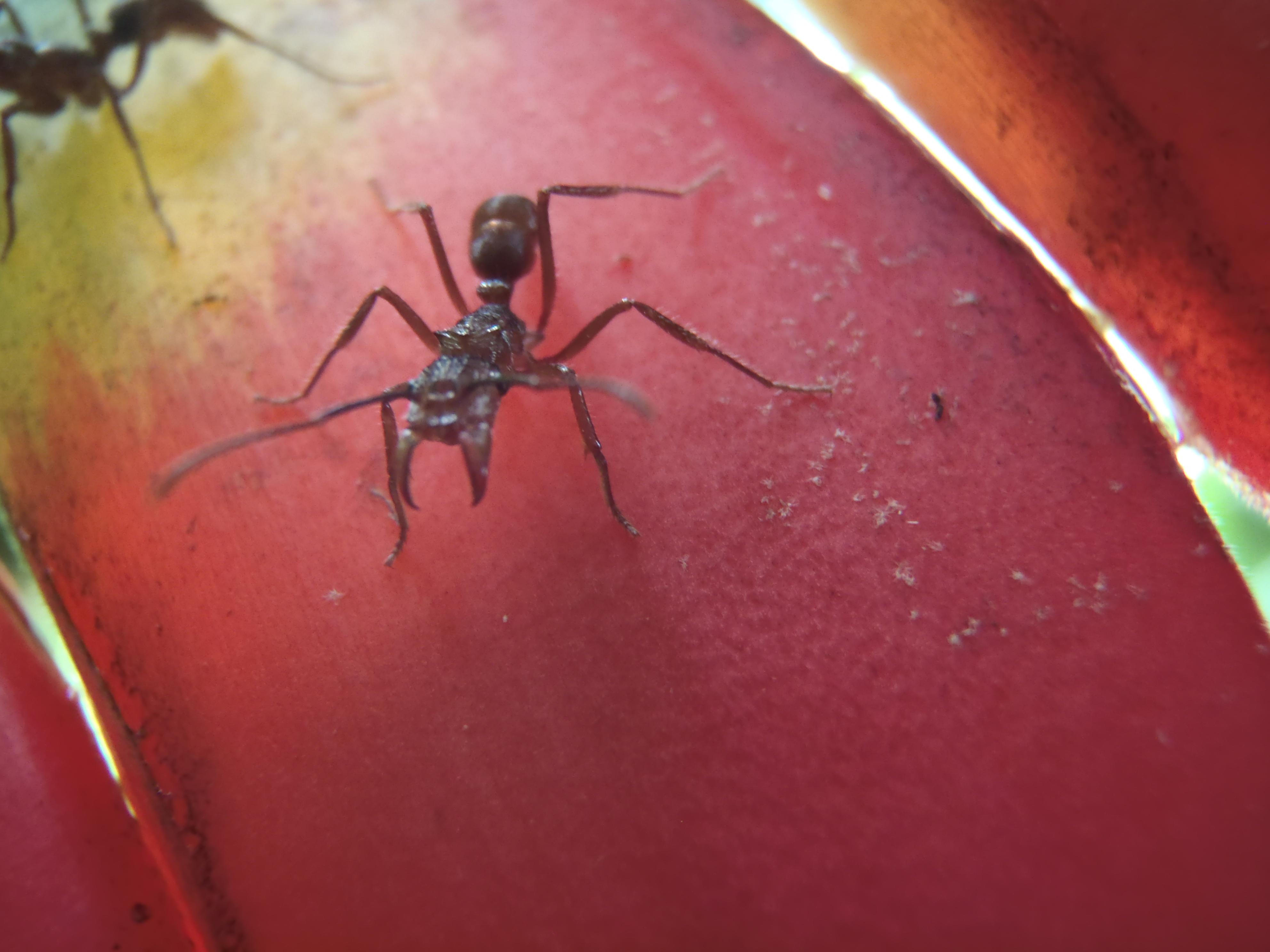 La fourmi rouge images frompo - Fourmi rouge et tamanoir ...