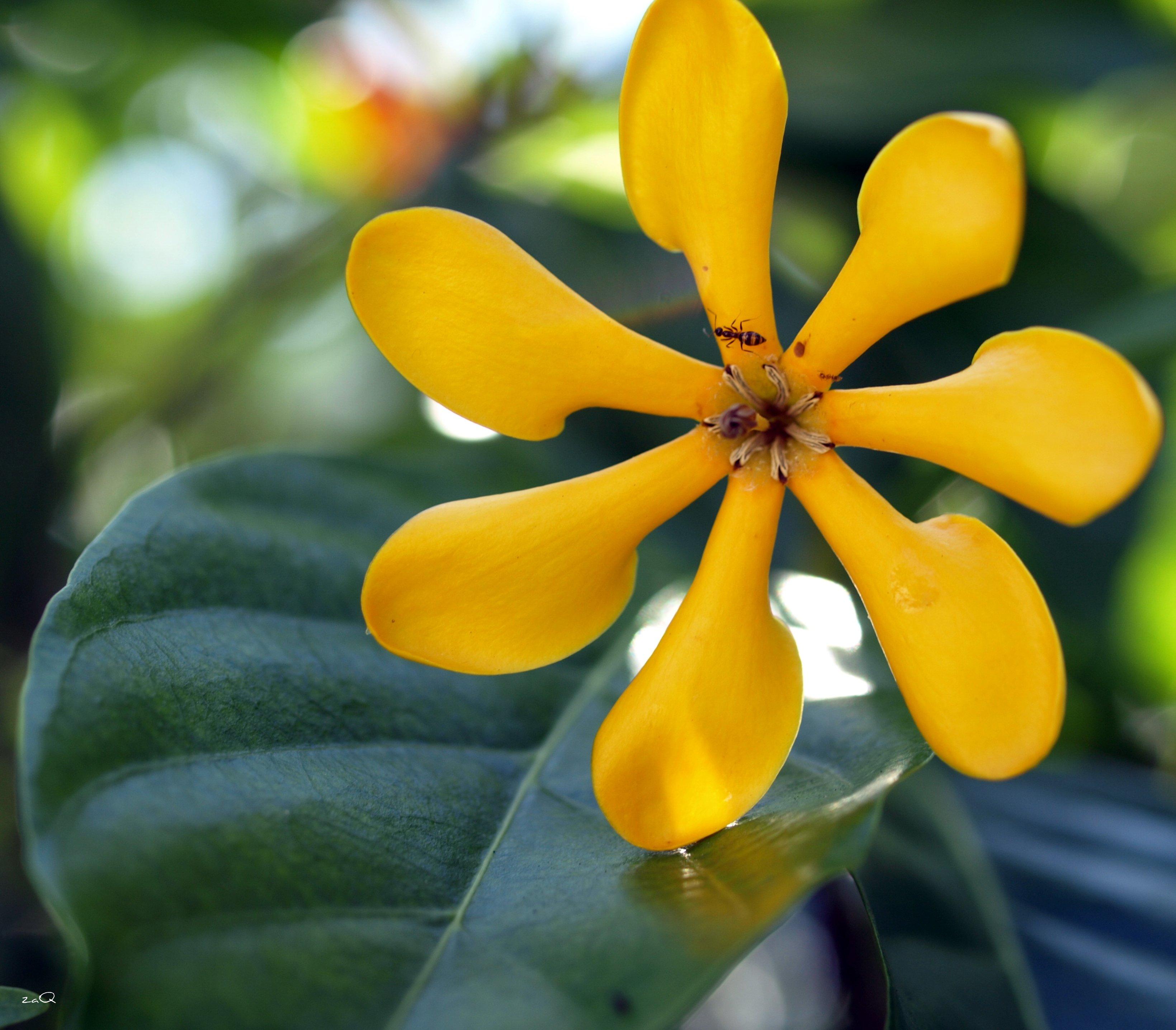 File:Gardenia tubifera (3634437285).jpg