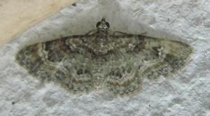 <i>Gymnoscelis</i> Genus of moths